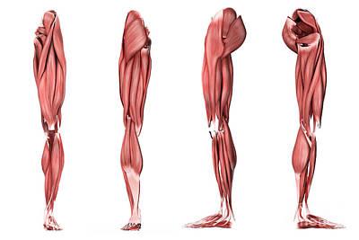 Tendon Digital Art - Medical Illustration Of Human Leg by Stocktrek Images