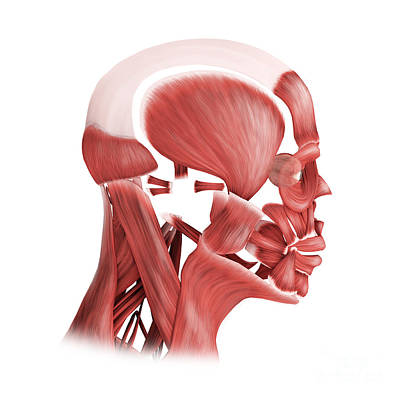 Digital Art - Medical Illustration Of Male Facial by Stocktrek Images