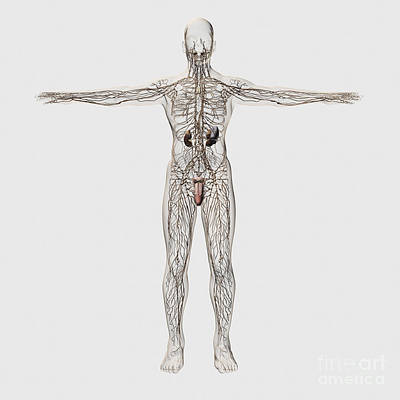 Digital Art - Medical Illustration Of Male Lymphatic by Stocktrek Images