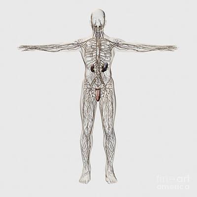 Digital Art - Medical Illustration Of Male Lymphatic by Stocktrek Images