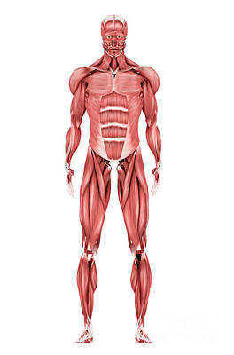 Digital Art - Medical Illustration Of Male Muscular by Stocktrek Images