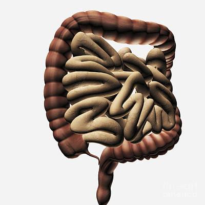 Internal Digital Art - Medical Illustration Of The Large by Stocktrek Images