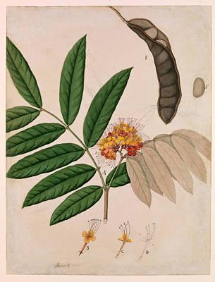 Alternative Medicine Painting - Medicinal Ashoka Tree Flower, 19th by Metropolitan Museum of Art