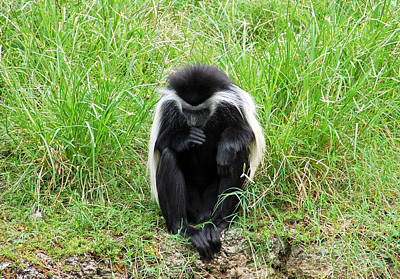 Photograph - Meditating Monkey by Aimee L Maher Photography and Art Visit ALMGallerydotcom