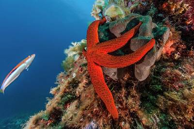 Mediterranean Red Sea Star On Reef Art Print by Alexis Rosenfeld/science Photo Library