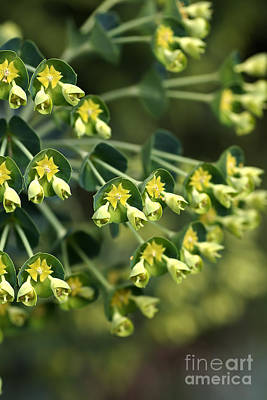 Mediterranean Spurge Art Print by Joy Watson