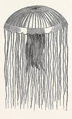 Medusa Drawing - Medusa Pellucens. One Quarter The Size Of Nature by Litz Collection