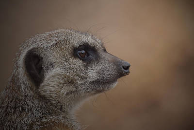 Photograph - Meerkat 10 by Ernie Echols