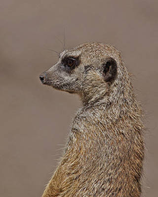 Photograph - Meerkat 11 by Ernie Echols