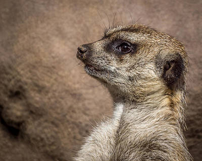 Photograph - Meerkat 15 by Ernie Echols