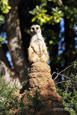 Animal Photograph - Meerkat 7d27340 by Wingsdomain Art and Photography