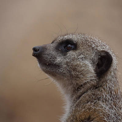 Photograph - Meerkat 8 by Ernie Echols