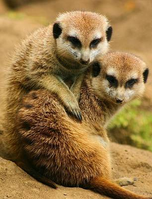 Photograph - Meerkat Buddies by Jane Girardot