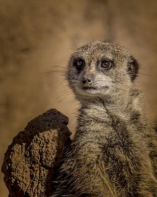 Photograph - Meerkat by Ernie Echols