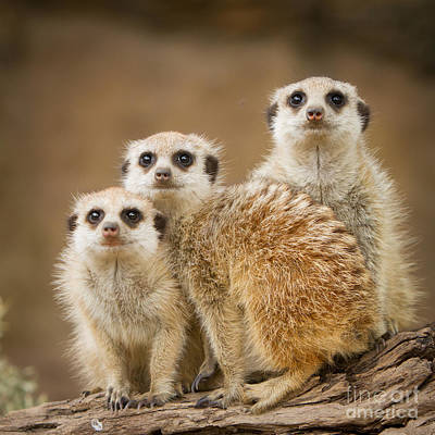 Meerkat Family Art Print by Craig Dingle