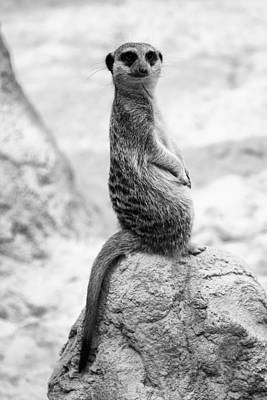 Photograph - Meerkat by Goyo Ambrosio