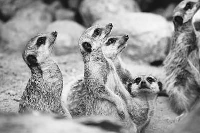 Meerkat Group Art Print