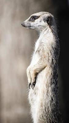 Meerkat Guarding The Territory Original by Twilight View