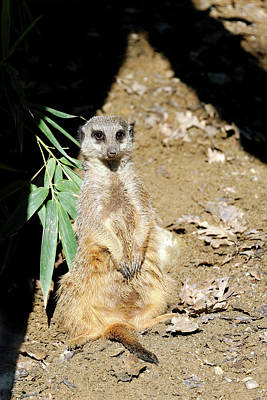 Meerkat Photograph - Meerkat by Heiti Paves