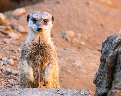 Photograph - Meerkat  by John Ferrante