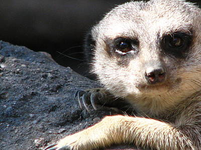 Photograph - Meerkat Looking At Me by Cleaster Cotton