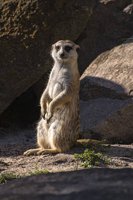 Digital Art - Meerkat Looking Forward by Chris Flees