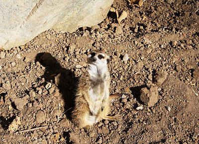 Photograph - Meerkat Lookout by Lynnette Johns