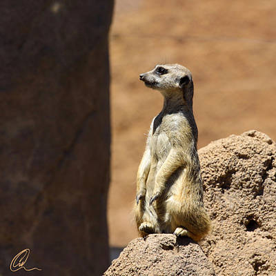 Meerkat Lookout Squared Art Print by Chris Thomas