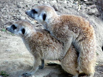 Photograph - Meerkat Love by Jeff Lowe