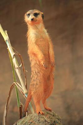 Photograph - Meerkat by Mandy Shupp