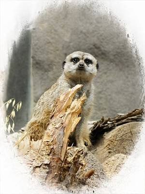 Cheyenne Mountain Zoo Photograph - Meerkat by Michelle Frizzell-Thompson