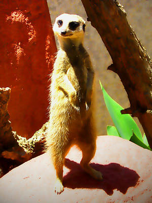 Photograph - Meerkat On Watch by Amber Nissen