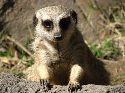 Photograph - Meerkat Paws And Claws by Cleaster Cotton