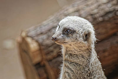 Photograph - Meerkat by Peter Lakomy