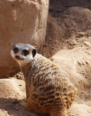 Photograph - Meerkat Portrait by Methune Hively