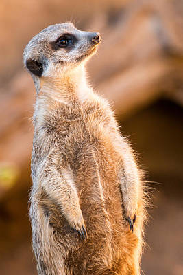 Photograph - Meerkat Profile by John Ferrante