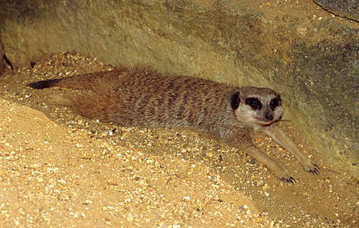 Meerkat Wall Art - Photograph - Meerkat Resting by Nigel Downer