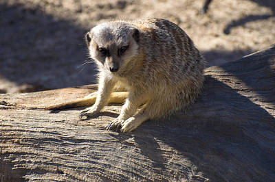 Meerkat Digital Art - Meerkat Resting On A Rock by Chris Flees