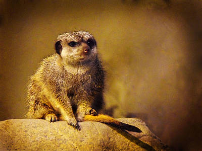 Photograph - Meerkat by Richelle Munzon