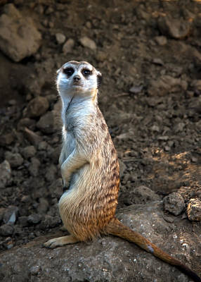 Photograph - Meerkat by Robert Bales