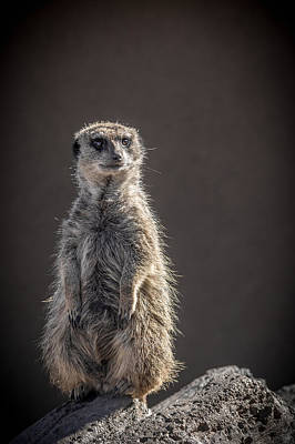 Meerkat Photograph - Meerkat Sentinel by Ernie Echols