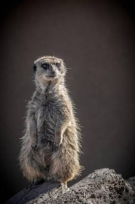 Photograph - Meerkat Sentinel by Ernie Echols