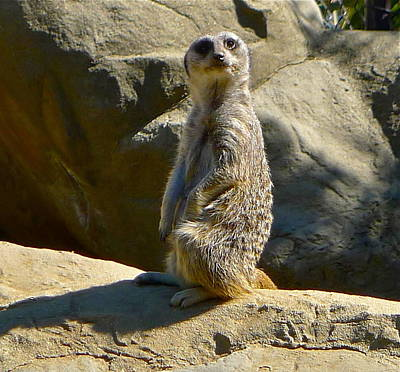 Photograph - Meerkat Sentry by Denise Mazzocco