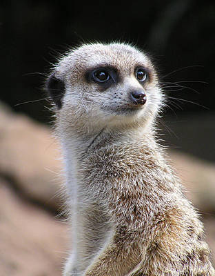 Photograph - Meerkat Sentry by Margaret Saheed