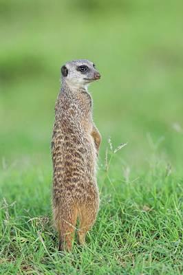 Meerkat Photograph - Meerkat Standing On Guard Duty by Peter Chadwick