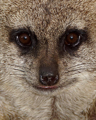 Photograph - Meerkat Stare Down by Ernie Echols