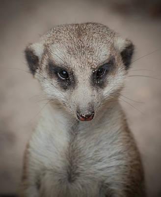Meerkat Photograph - Meerkat Stare-down by Shirley Radabaugh