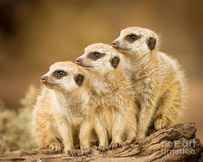 Meerkats Art Print by Craig Dingle
