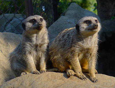 Photograph - Meerkats by Denise Mazzocco