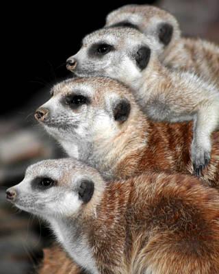 Photograph - Meerkats by Gigi Ebert